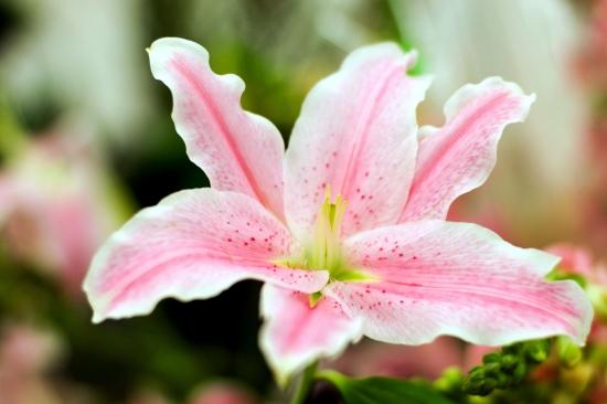 百合花的养殖方法与注意事项