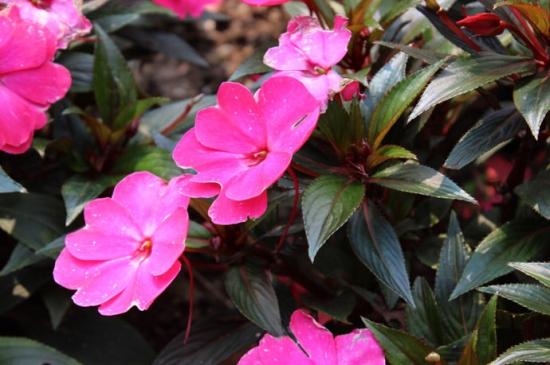 新几内亚凤仙花的养殖方法和注意事项