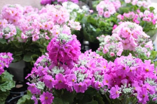 樱草花的养殖方法
