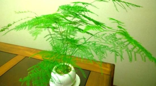 文竹叶子发黄的常见原因