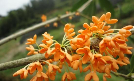 桂花新品种图片_桂花的品种及图片