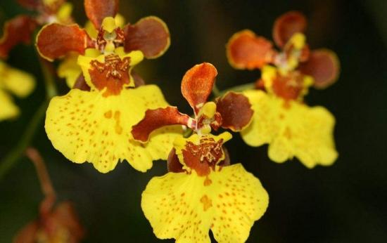 兰花花语是什么