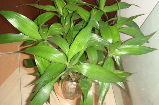 水培富贵竹叶子发黄怎么办?