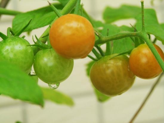 未熟透的小番茄