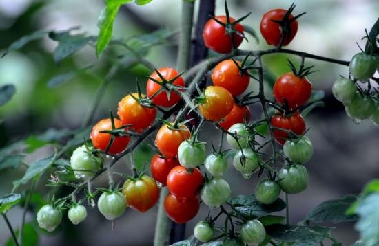 小番茄(圣女果)