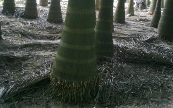 大王椰子基部