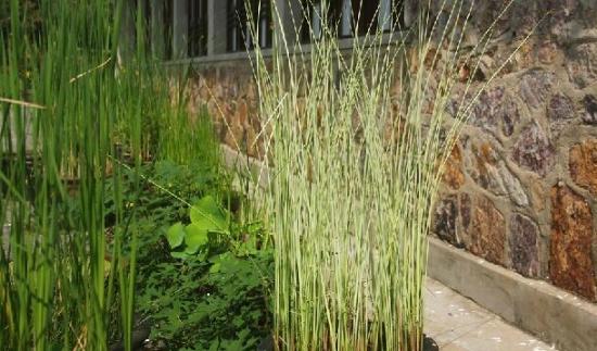 水葱是什么:一种水生植物,是我国重要的经济作物