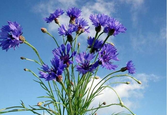 矢车菊是什么:矢车菊为菊科矢车菊属的二年生或多年生草本植物