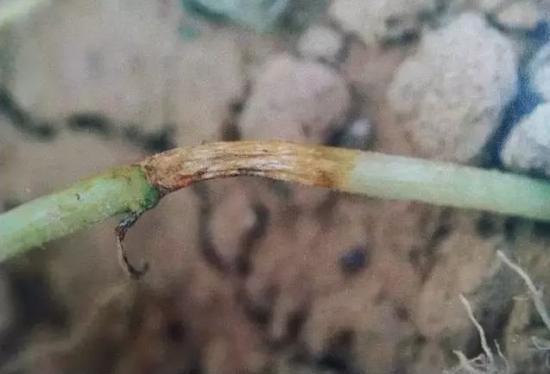 西瓜蔓枯病