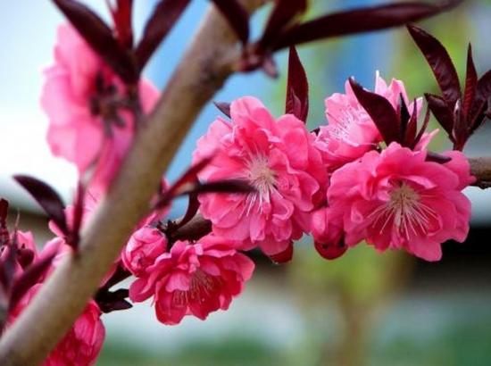 榆叶梅的繁殖:常见繁殖方式有分株繁殖和嫁接繁殖
