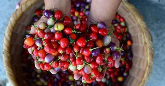 七彩椒种植技术 七彩椒一般采用播种种植,大约3个月即可结果