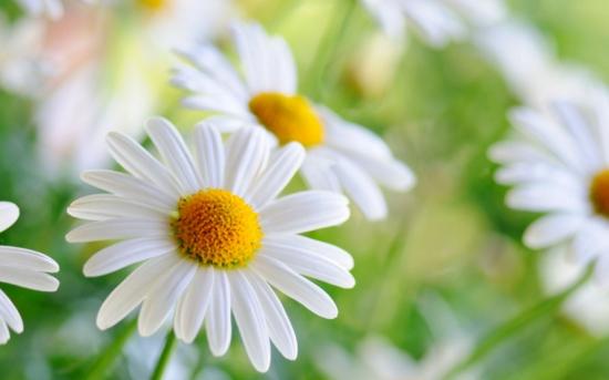 菊花代表什么