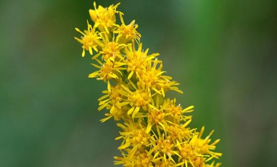 加拿大一枝黄花:又名黄莺、麒麟草;系外来入侵物种