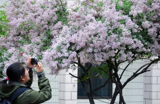 丁香花繁殖方式:丁香花繁殖一般以嫁接为主,也可采用播种和扦插的方式