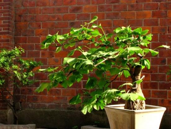 盆栽银杏树