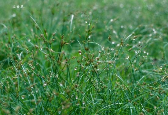 三棱草:稻田中最常见的杂草,为多年生草本,有毒,?块茎可入药