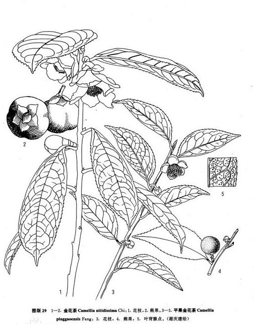 """植物界""""大熊貓""""——金花茶"""