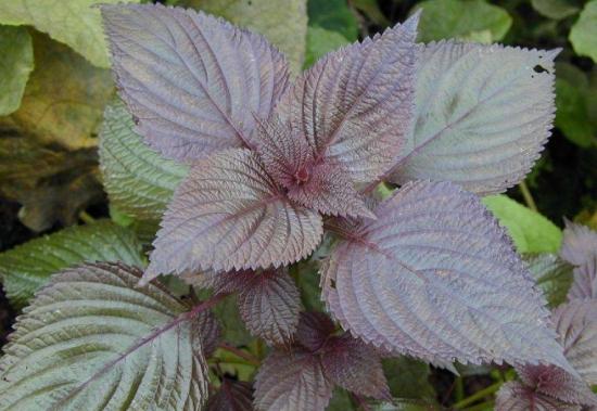 紫苏叶煮水的功效