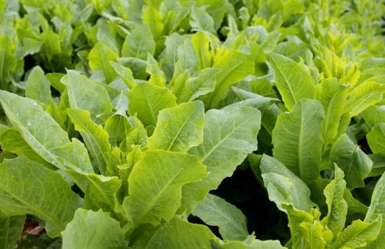 莴苣种植技术