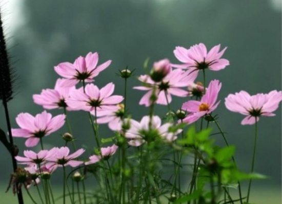 樱花草的养殖方法