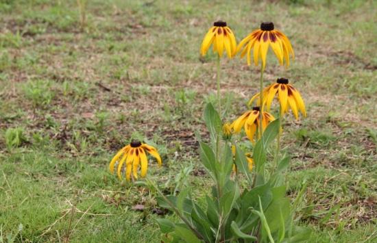 黑心菊的生长习性