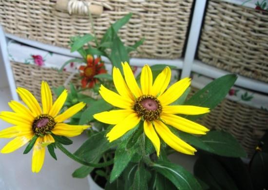 黑心菊的繁殖方式