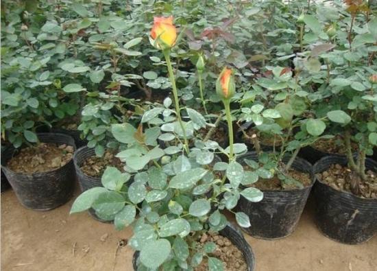 玫瑰花播种