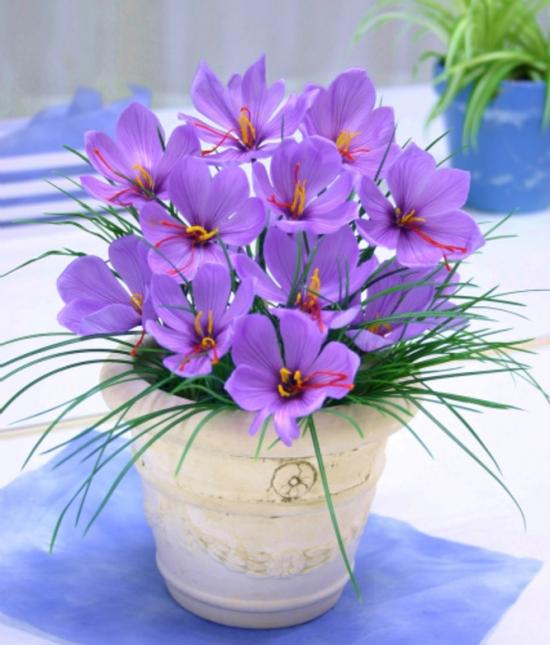 藏红花的养殖方法及注意事项:在养护过程中要注意及时排去积水