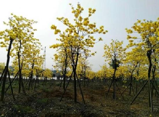 黃花風鈴木栽培技術