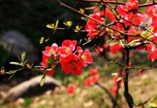 海棠花的种类有哪些,史上最全海棠花品种大全