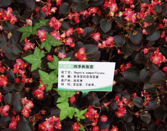 四季秋海棠