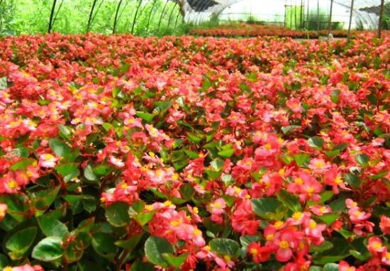 四季海棠用什么土最好,四季海棠施什么肥好