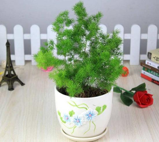 蓬莱松有哪些作用:蓬莱松枝叶翠绿,四季常青适宜制作成观赏盆景。
