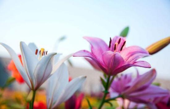 香水百合什么时候开花,每年4—8月/花期2个月