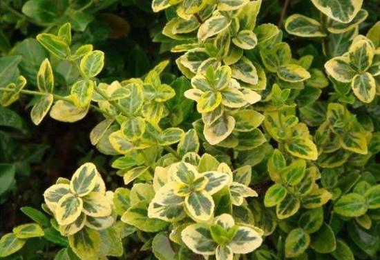 彩叶扶芳藤的繁殖和栽培技术