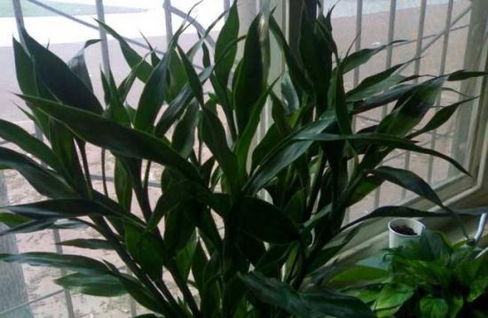 富贵竹用什么土养好,可用腐叶土与菜园土混合