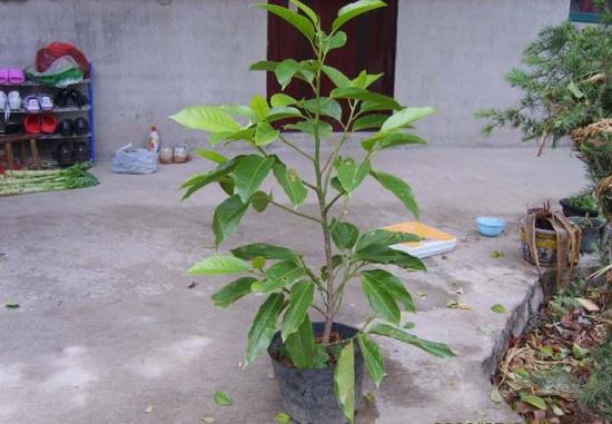 黄桷兰怎么施肥,花期前中期都需要薄施勤肥