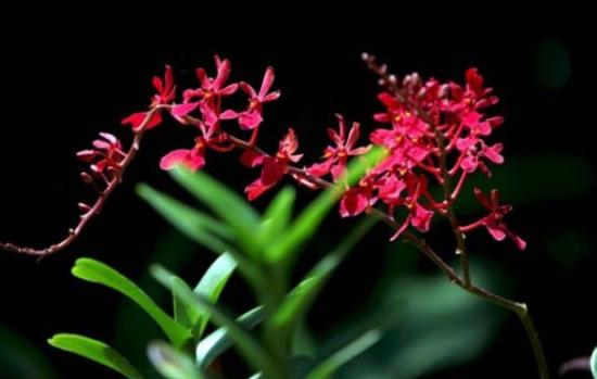 珍稀濒危植物――火焰兰