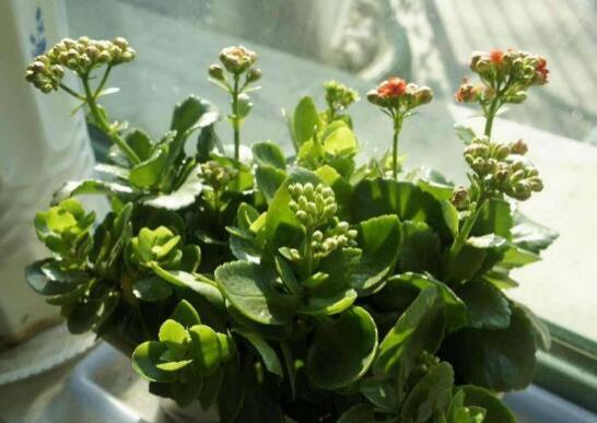 长寿花的养殖方法和注意事项:手把手教你养殖
