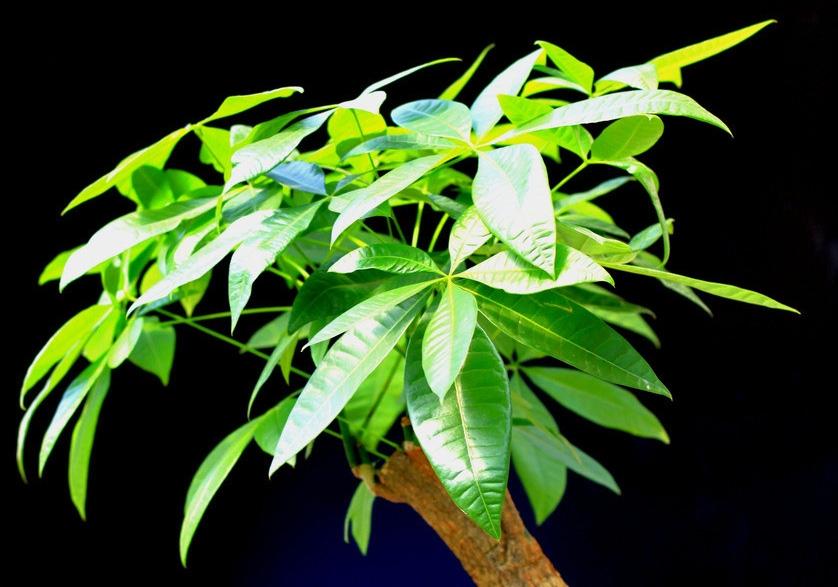 绿油油的发财树
