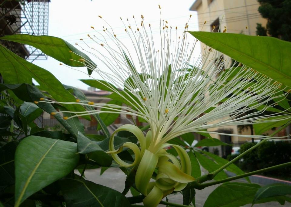 室外的发财树开花