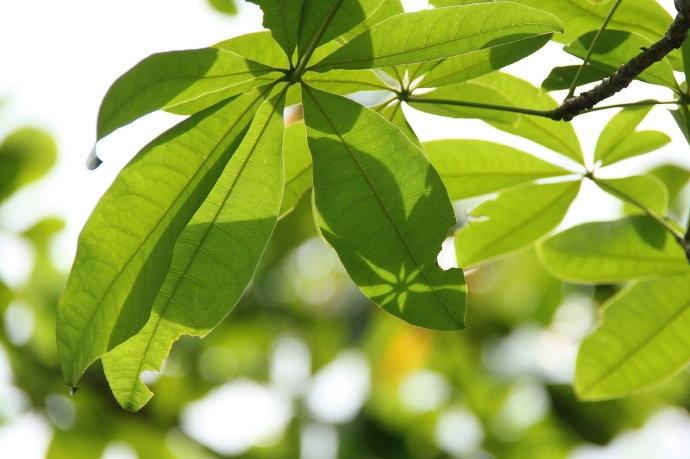 阳光洒在发财树叶上