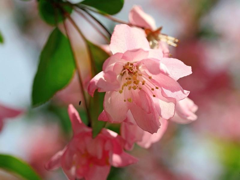 唯美海棠花