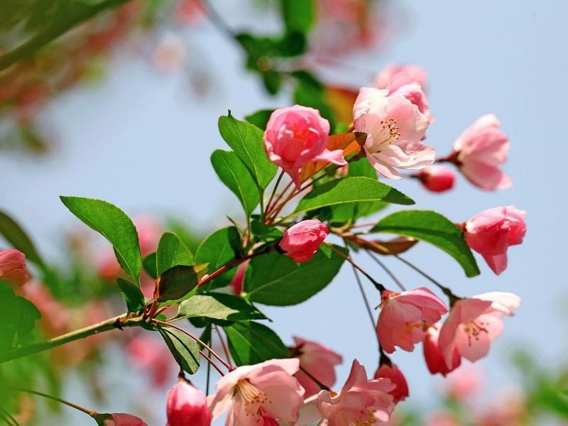 温婉大方的海棠花