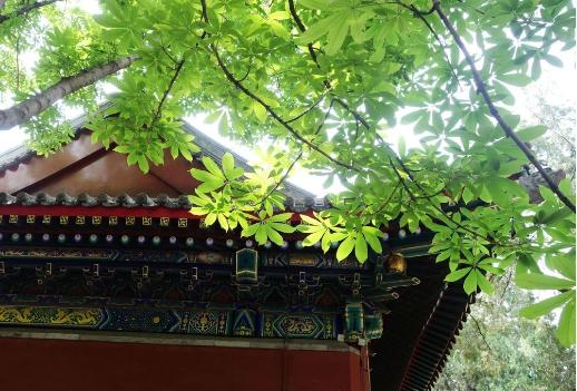 七叶树是什么:世界著名观赏树种七叶树