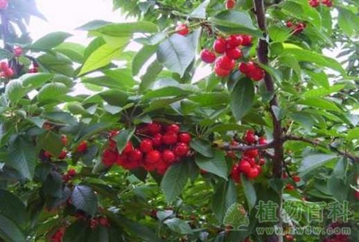 无公害茶叶病虫害综合防治技术