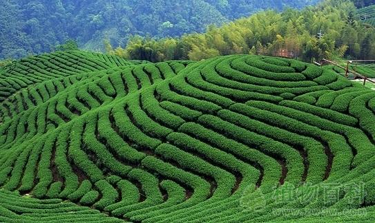 茶园怎么施肥