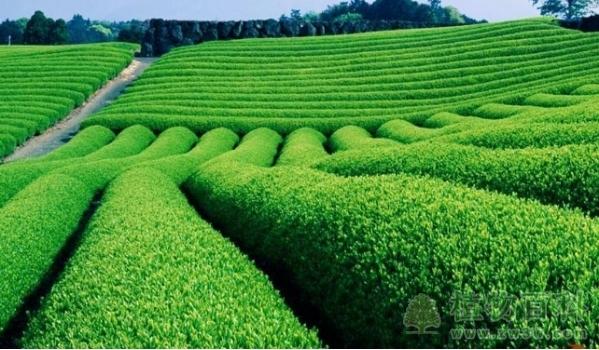 无公害茶叶的生产技术