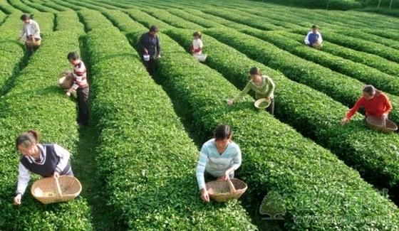 茶叶的采摘方法与采摘标准