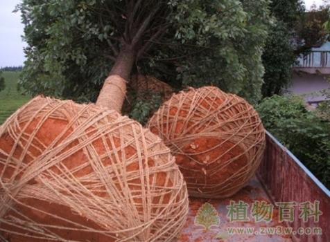 绿化大树怎样移栽